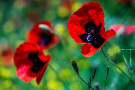 Vivid red poppy flowers in a wild meadow