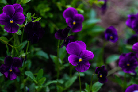 Bright tricolor viola flowers in a summertime garden