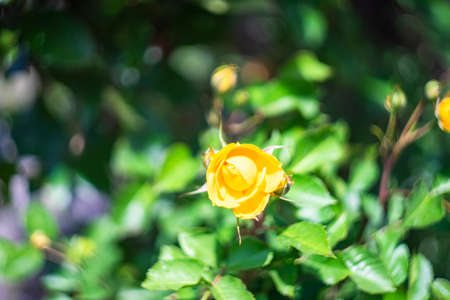 Rose bush with flowers and buds in a summertime garden
