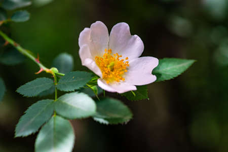 Close up of wild dog rose flowers in a summer garden
