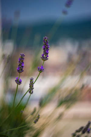 Flowers of Lavender plant in home garden as a natural card concept