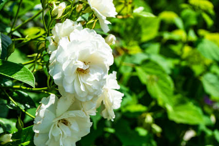 Closeup of white roses on the bush in the garden