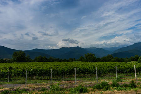 Famous vineyards in Kakheri area, summer time in Georgia