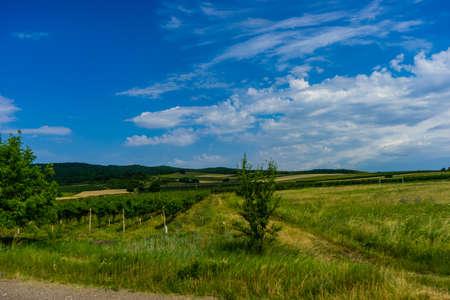 Famous vineyards in Kakheri area, summer time in Georgia