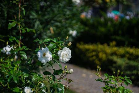 White roses on the bush in the city park Stockfoto