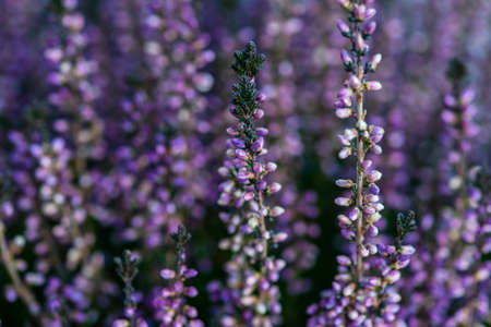 Calluna flowers blooming in a garden as a natural background Фото со стока