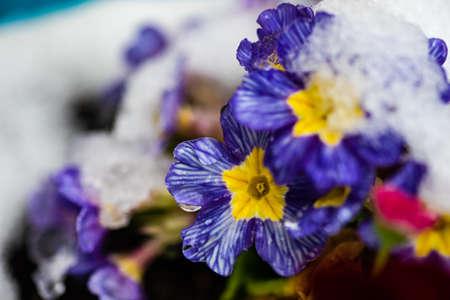 Blue primrose flowers in a spring time garden