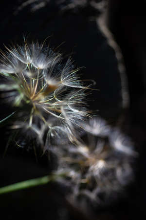 old white dandelion on green background, selective focus