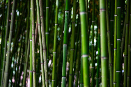 Background of green bamboo forest as a natural background
