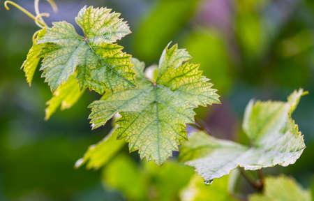 One of the vineyard in wine region of Georgia, Kakheti in raining day