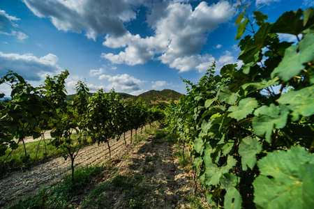 One of the vineyard in wine region of Georgia, Kakheti in sunny day