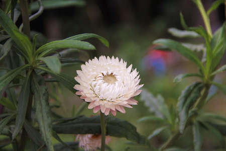 everlasting: strawflowers and everlasting