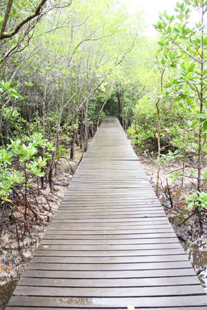 Mangrove forest ,jantaburi thailand photo