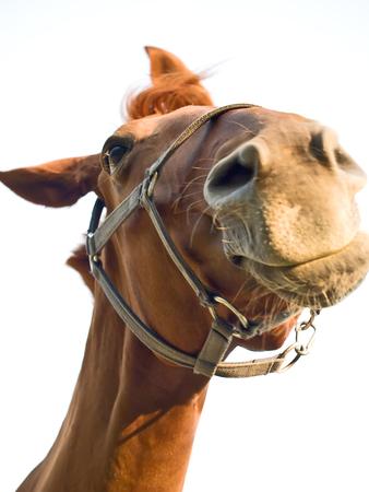 Horse portrait, the horse can listen. Stock Photo