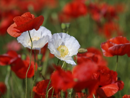 Two white poppy flowers between red poppies on a meadow wild stock photo two white poppy flowers between red poppies on a meadow wild poppies among grass and wild flowers beautiful wild flowers mightylinksfo