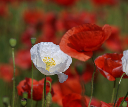 White poppy flower between red poppies on a meadow wild poppies stock photo white poppy flower between red poppies on a meadow wild poppies among grass and wild flowers beautiful wild flowers mightylinksfo