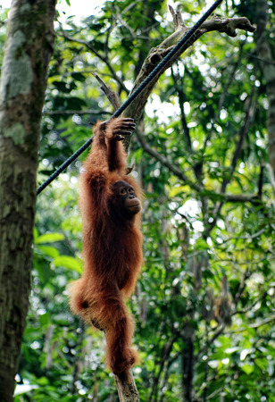 Young orangutan hang on the branch of the tree in the forest. Little ape resting on tree in rainforest. Animals in wild, wildlife