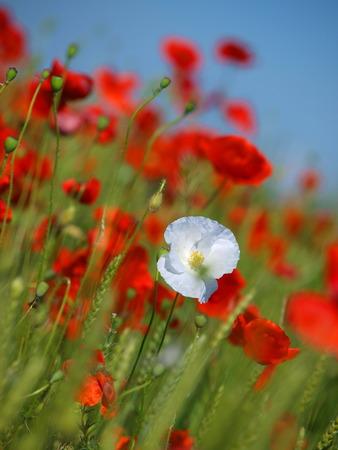 Poppy flowers are growing on a wheat field adding vivid colors poppy flowers are growing on a wheat field adding vivid colors to the green farming mightylinksfo