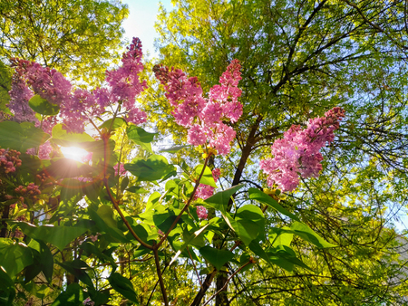 Lilac bushes in the sun. Blossoming lilacs close-up, lilac, crimson and violet color is shown in back-light, beams break through the foliage