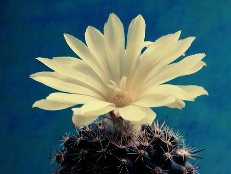Large yellow cactus flower blooming on the spiny parts of the plant on a neutral background, closeup. Reklamní fotografie