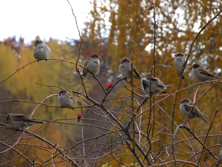 birds on tree, In autumn cold weather, sparrows sitting on the branches Standard-Bild