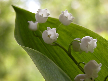 lily of the valley, closeup with leaves on bokeh blurred background