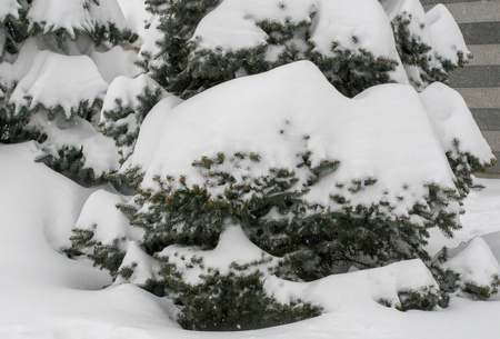 spruces under the snow, branch space, covered with large white snow caps, winter, snowfall, only the tips of the needles of trees are visible