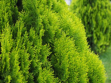 branches of a tree, green thuja macro close up Reklamní fotografie