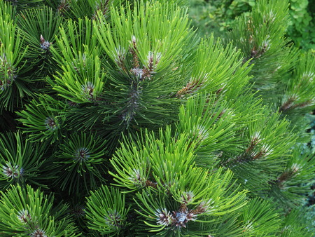 pine tree green branch with needles and cones, macro