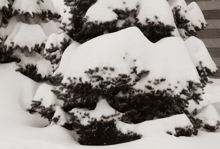 spruces under the snow, branch space, covered with large white snow caps, winter, snowfall, only the tips of the needles of trees are visible, sepia toned Reklamní fotografie