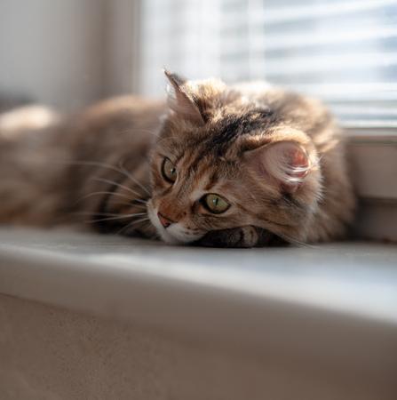 cat lying on the window sill, sad emotion, close up Reklamní fotografie