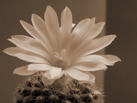 White mini cactus flower, blossoming, macro photography, sepia toning