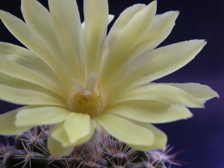 Yellow mini cactus flower, blossoming, macro photography