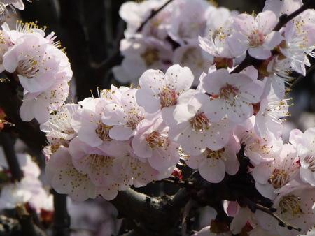 cherry tree blossom macro shot made outdoors