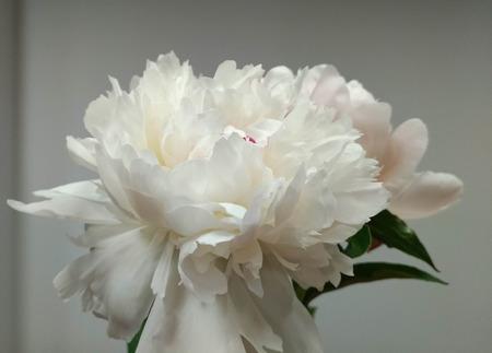 white pion flower on light background macro
