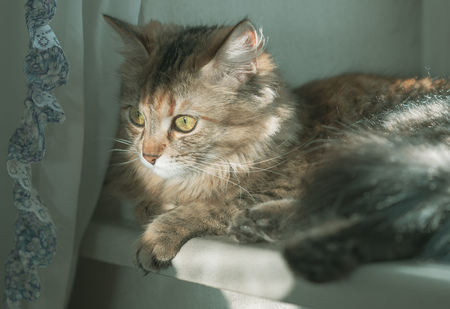 cat with yellow-green eyes  and long fur on a wall background windowlit
