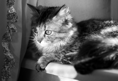 cat with yellow-green eyes  and long fur on a wall background windowlit, black and white Reklamní fotografie