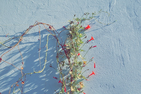 plant with brigth saturated warm colored flowers on the wall Reklamní fotografie