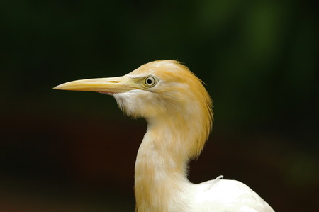 portrait of a egyptian heron, isolated on blurred background, shot made in Kuala Lumpur birds park Reklamní fotografie