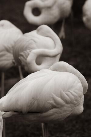 flamingo in nature on green, birds resting, sepia tone