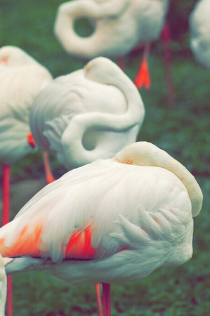 flamingo in nature on green, birds resting