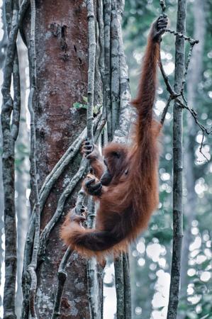Orangutan on a background of green trees. The Orangutan park, Malaysia, Borneo, state Sarawak. The Hominids, Great Apes, Primates, Mammals, genus: Orangutans (Pongo pygmaeus), subfamily Pongidae. Reklamní fotografie - 116373768