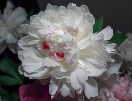 white peony flower close-up with hard contrasting contrast, macro, reddish veins Reklamní fotografie - 116373770