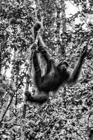 Orangutan on a background of green trees. The Orangutan park, Malaysia, Borneo, state Sarawak. The Hominids, Great Apes, Primates, Mammals, genus: Orangutans (Pongo pygmaeus), subfamily Pongidae. Reklamní fotografie - 116373771