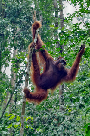 Orangutan on a background of green trees. The Orangutan park, Malaysia, Borneo, state Sarawak. The Hominids, Great Apes, Primates, Mammals, genus: Orangutans (Pongo pygmaeus), subfamily Pongidae. Reklamní fotografie - 116373890