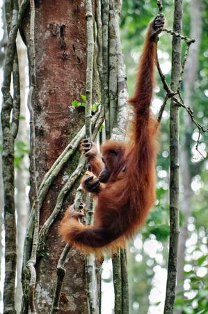 Orangutan on a background of green trees. The Orangutan park, Malaysia, Borneo, state Sarawak. The Hominids, Great Apes, Primates, Mammals, genus: Orangutans (Pongo pygmaeus), subfamily Pongidae. Reklamní fotografie - 116373894