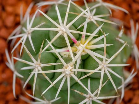 Cactus macro, top view of zone with needles Reklamní fotografie - 116373906