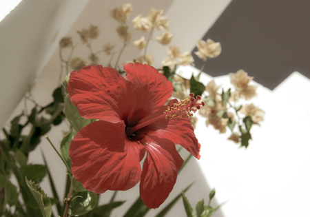 red hibiscus, chinese rose on white wall and other flowers and blue sky, summer, southern country, macro Reklamní fotografie - 116373912
