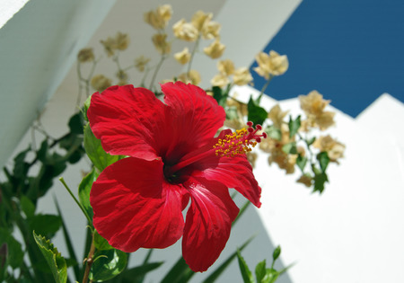 red hibiscus, chinese rose on white wall and other flowers and blue sky, summer, southern country, macro Reklamní fotografie - 116374140
