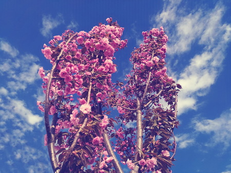 Spring blooming Sakura against the blue sky and clouds in windy weather Reklamní fotografie - 116374149